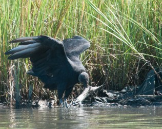An adult Black Vulture with a dead fish...