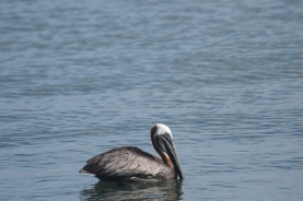 "The Atlantic ""BrownPelican"" is a bit of a different color morph than I am used to from the California coast."