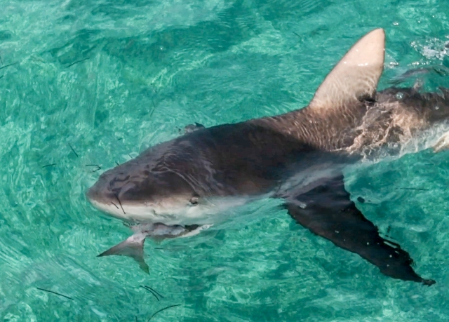 Shark baiting trimmed-1